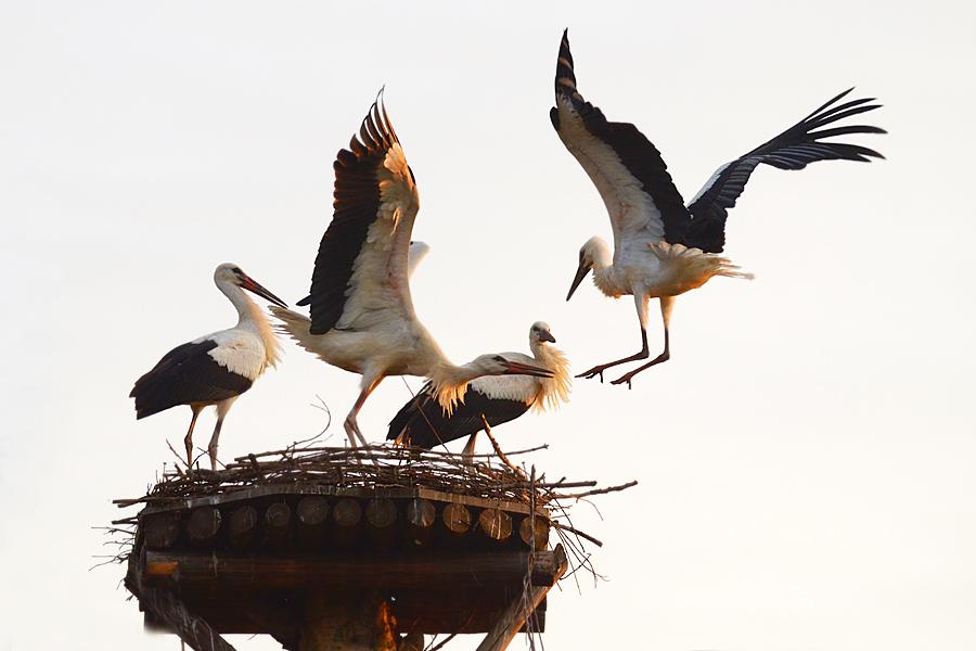 Boćki małe walczą o gniazdo przy Korolowej Chacie - fot. Urszula Frydrych